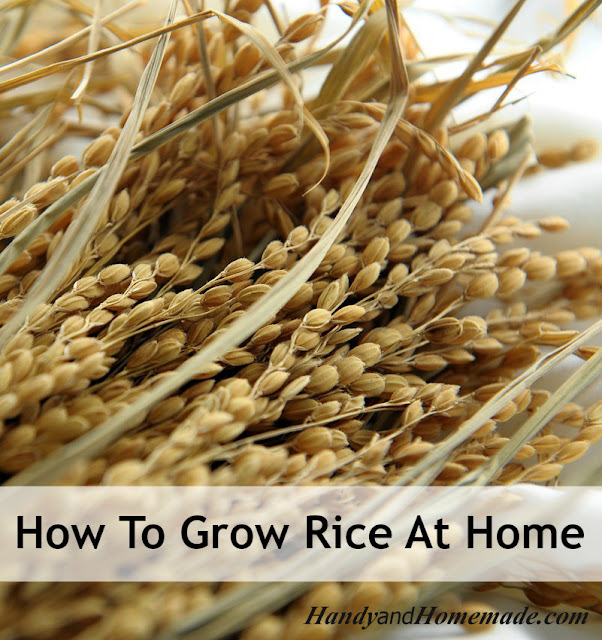 How To Grow Rice At Home From Seed Handy Amp Homemade