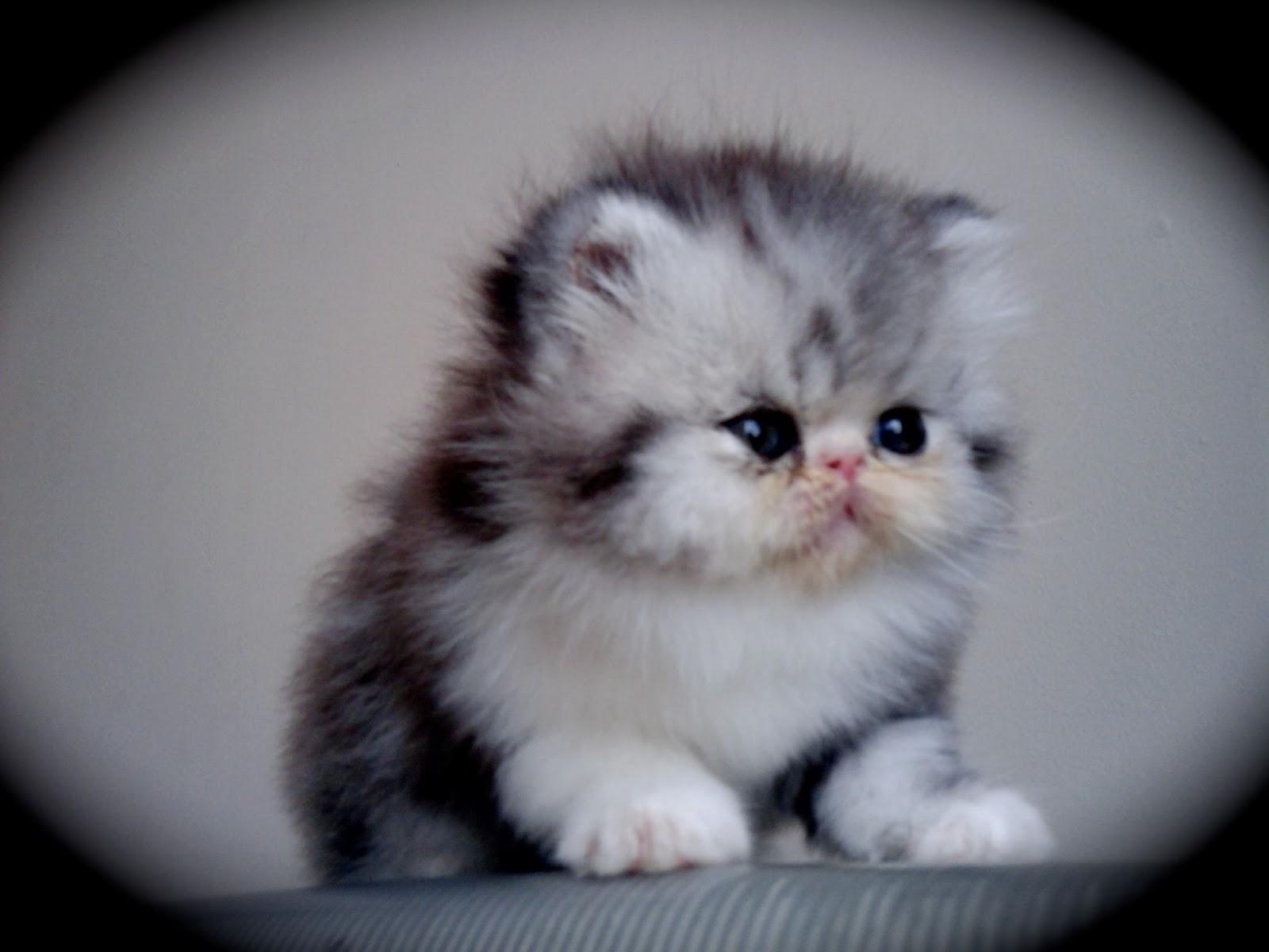 Gambar Kucing Hutan Campur Persia Terlucu