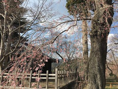 高遠城址公園 新城藤原神社の桜