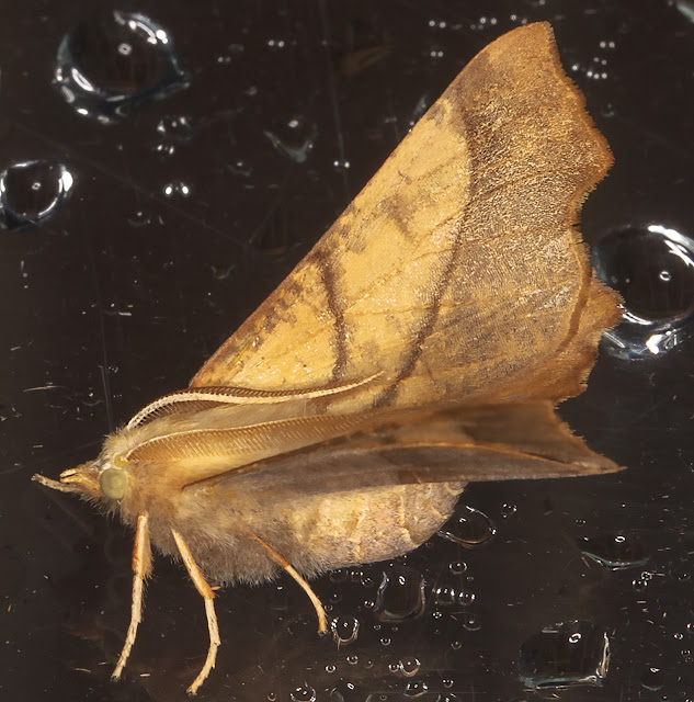 Dusky Thorn, Ennomos fuscantaria.  Luxford Lane, Crowborough, 22 July 2017.