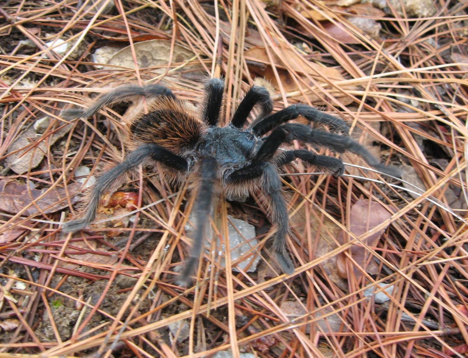 10 Facts About Tarantula Spider - Facts Did You Know?