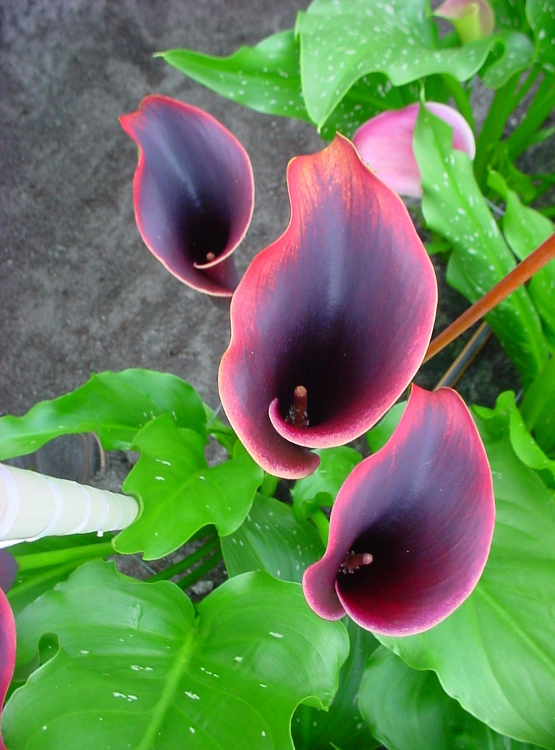 Zantedeschia Eyeliner (Brighter Blooms)