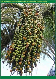Gambar buah kabung pada pokok belum masak