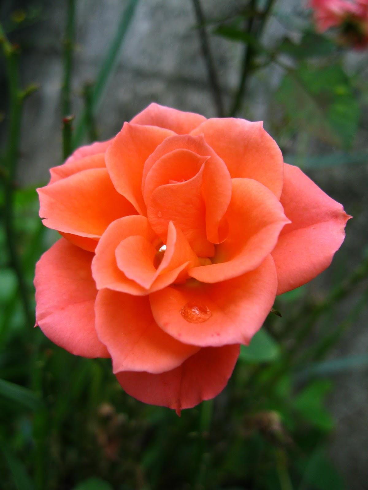 Love Garden Roses: Garden Therapy: Roses Are Love