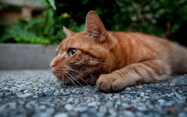 Rode kat lekker aan het rusten