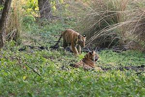 Tiger in Periyar Forest