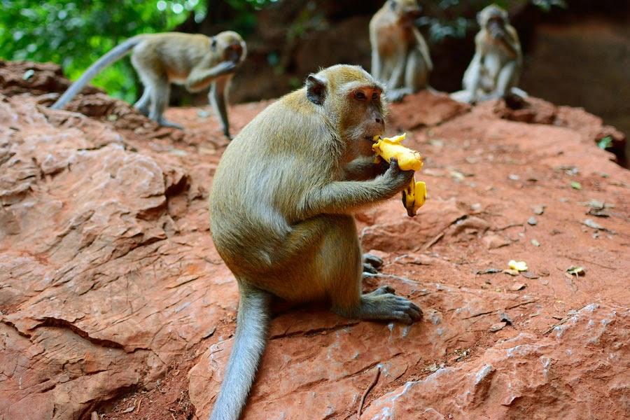 małpa w tajlandii,