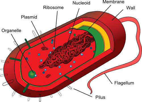 1 3 Describe The Common Features Shown By Prokaryotic Organisms Such As Bacteria