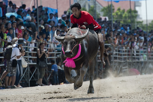 Bangkok Buffalo Races in Pictures