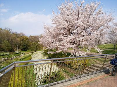 山田池公園の桜満開🌸お花見ウォーキング