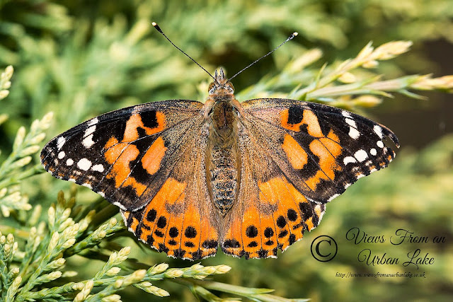 Painted Lady - Hatched from kit.
