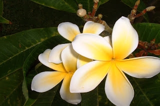 frangipani-amarilla