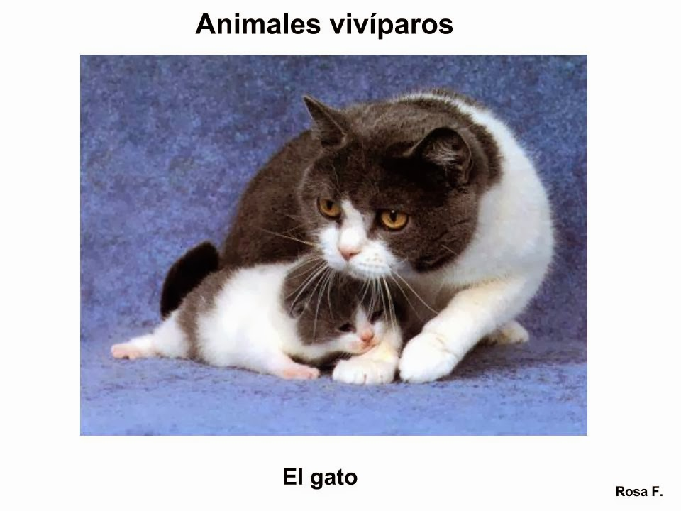 La Chachipedia Animales Vivíparos