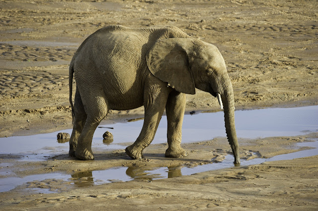 Elephant drinking water on dry river image