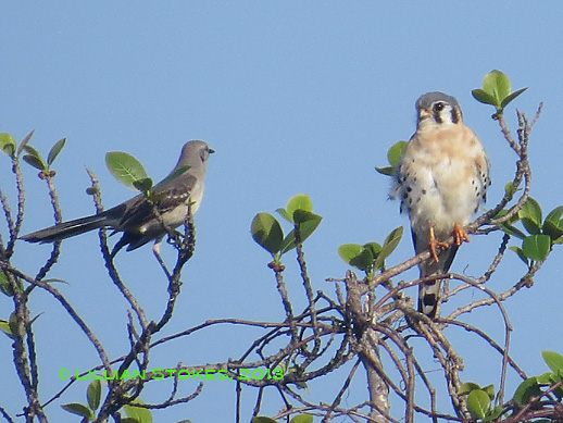 STOKES BIRDING BLOG: American Kestrel and Northern Mockingbird