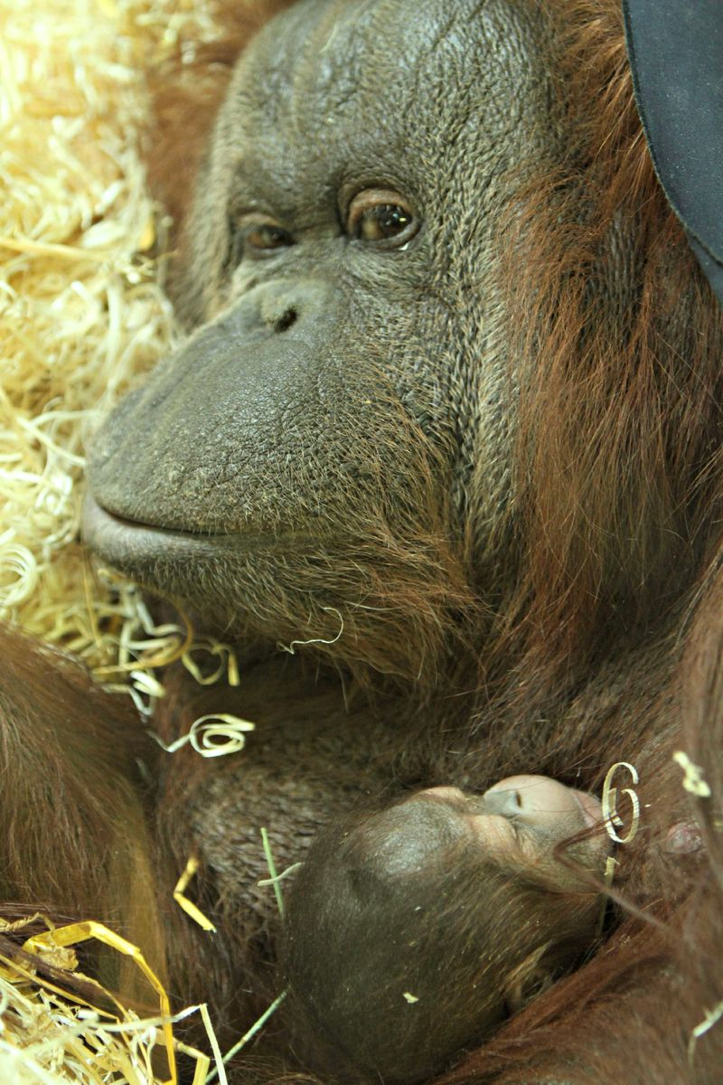 Baby Animals: Baby Orangutan 2