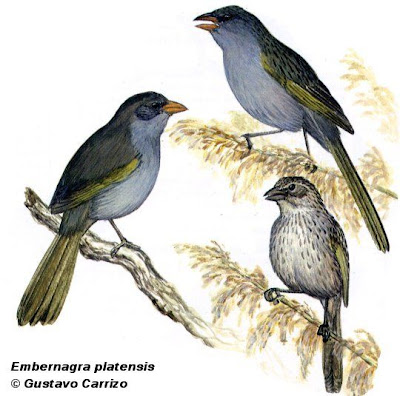 Great Pampa Finch