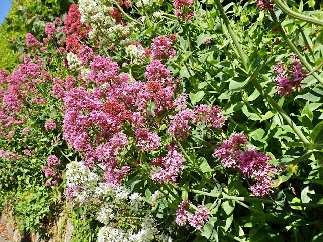 Valerian growing in wall, Cornwall