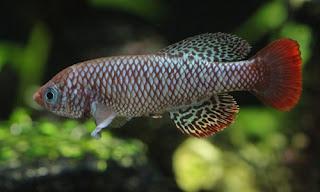 Killifish Nothobranchius Boklundi - cianjur update