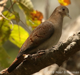 Blue Ground-Dove (female)