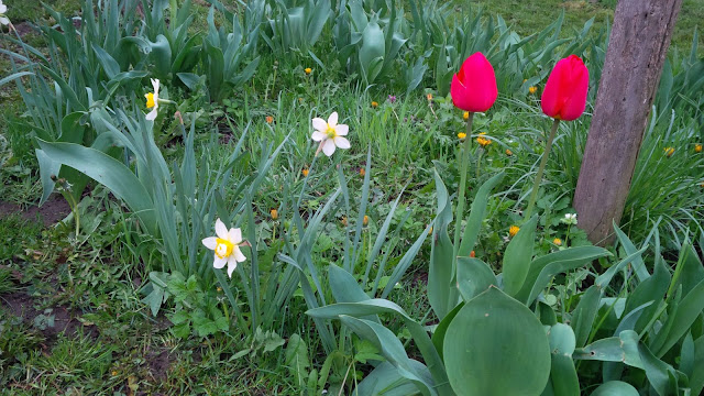 gardening, travel, spring flowers, romania, tulips, narcissus, colorful flowers,