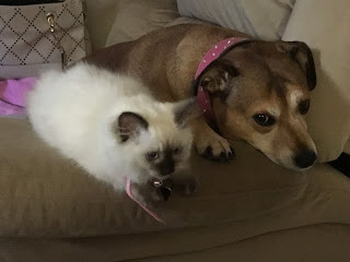 Princess, seal-point ragdoll kitten, with Fanta, Staffordshire bull terrier.