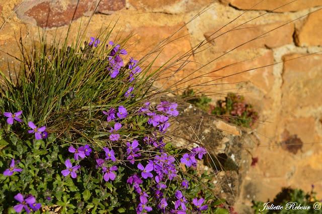 Fleur de muraille