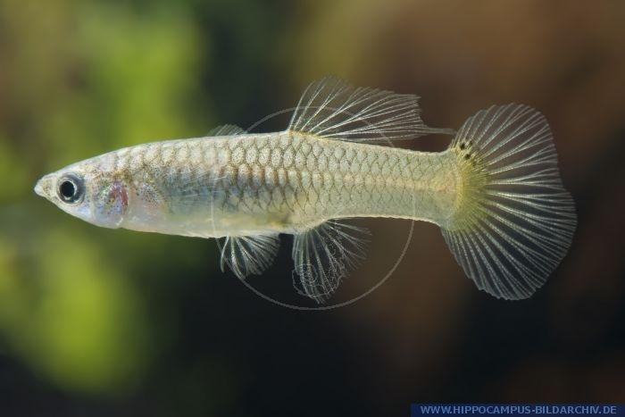 Gambar Ikan Guppy Roundtail SNAKESKIN