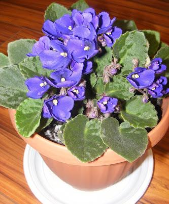 Violeta de parma albastra floare decorativa de apartament,