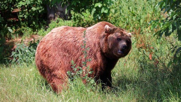 Αρκούδα κατασπάραξε κυνηγό που τη μεγάλωνε ως κατοικίδιο (βίντεο)