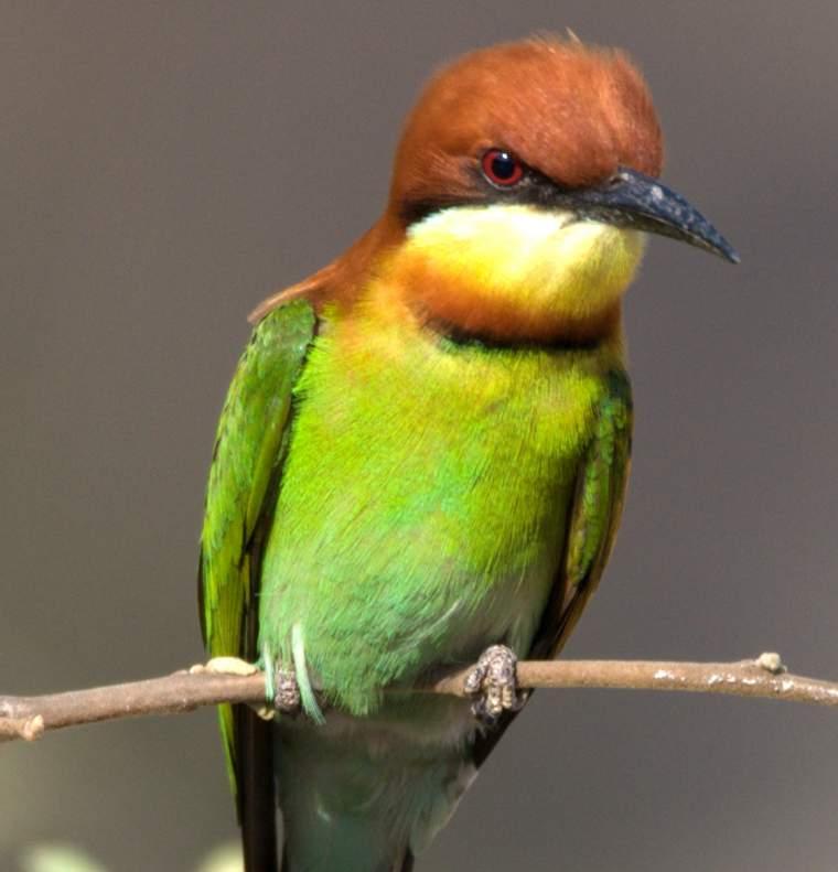 Chestnut-headed bee-eater photos | Birds of India | Bird World - photo#18