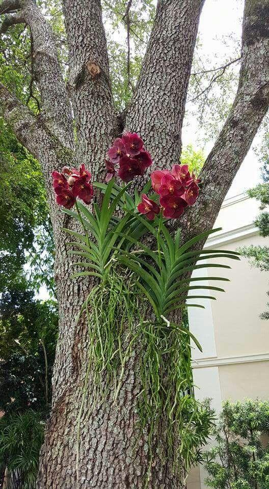 unde cresc orhideele