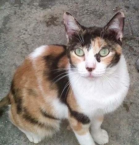 gato-tricolor-calico-caracteristicas