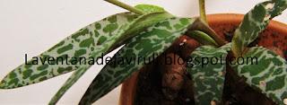 hojas-ledebouria-socialis
