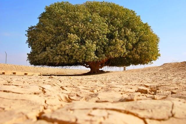 pohon-gurun-pasir