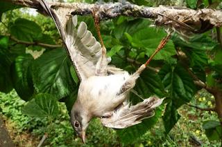 Cara Menjerat Burung Dengan Getah Pohon