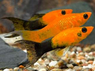 langkah-budidaya-ikan-golden.jpg