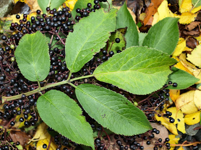An image of elderberry (Sambucus nigra) leaf and berries