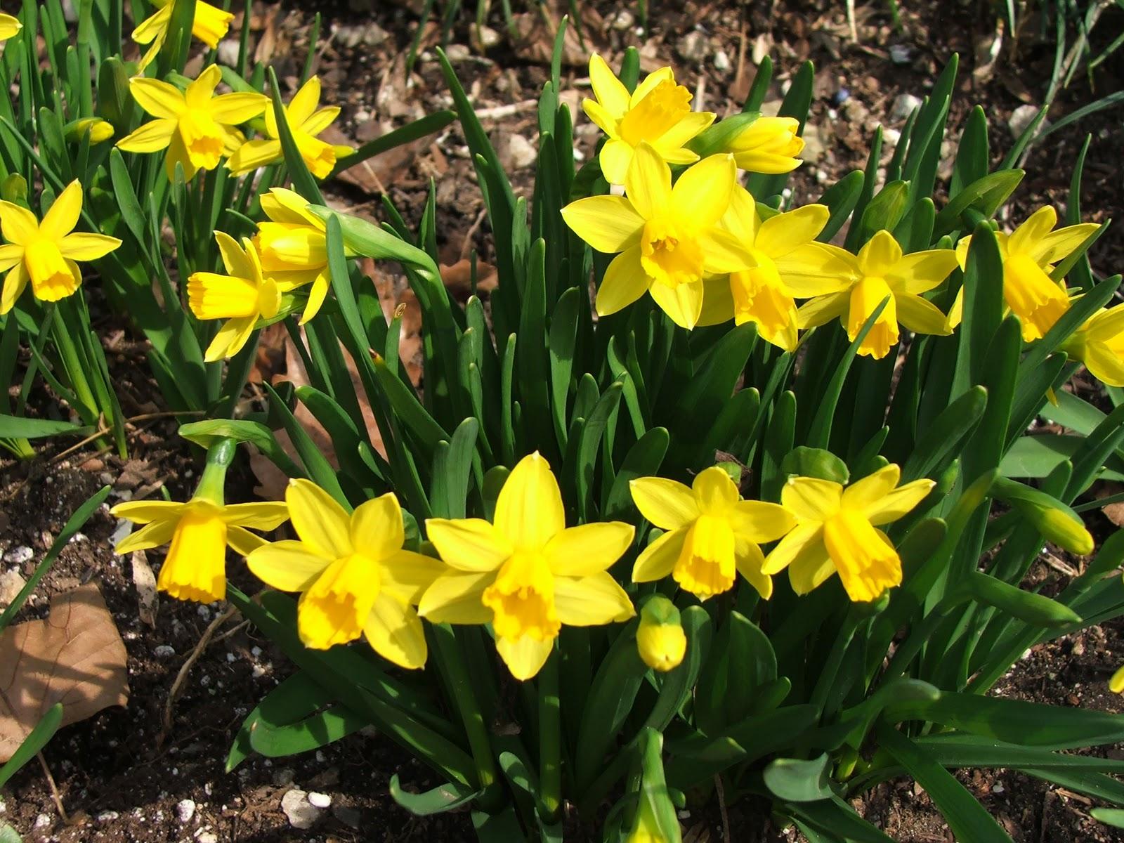 Aprilles SoCal Gardening  Plant Those Daffodil bulbs