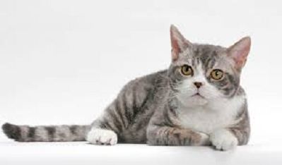 American Wirehair - Most Attractive Cat Breeds