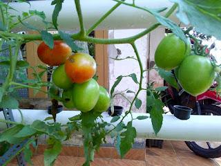 tomat organik