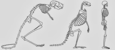 Anthropologists confirm link between cranial anatomy and two-legged walking