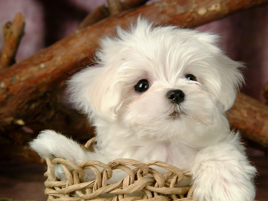 puppies cute puppy very baby puppys sfondi week too dogs maltese dog cutest adorable pups cutie cutepuppies funny lot during