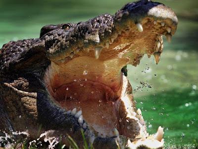 Crocodilo mata nadadora