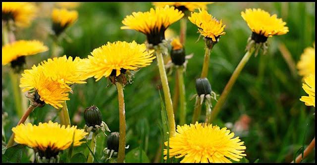 Dandelion: How It Benefits Our Liver Health?