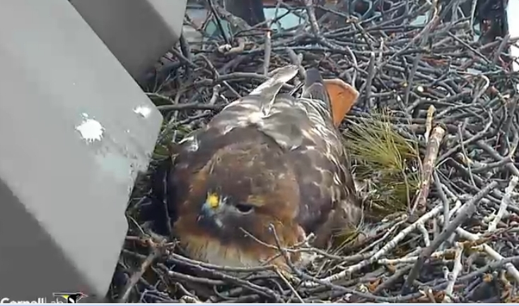 The Raptor Center  Cornell Red tailed Hawk Nest Cam Cornell Red tailed Hawk Nest Cam