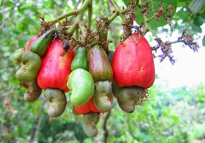 manfaat-buah-jambu-monyet-untuk-kesehatan.jpg