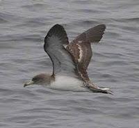 Burung laut di yakini dapat berumur sangat lama