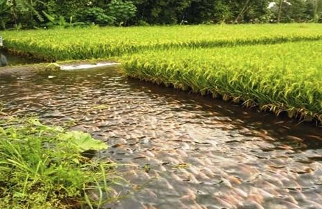 Teknologi Tanam Mina Padi Pada Tanah Persawahan