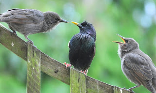 Starling fledglings